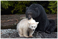 Black Bear Mother Affectionately Protecting her Spirit Bear Cub
