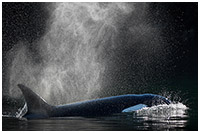 Orca Surfacing and Blowing in Calm Waters of the Great Bear Rainforest
