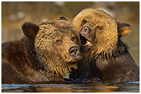 Grizzly Mom and Cub Frolicking in Shallow Water of Coastal Inlet