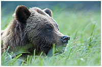 Female Grizzly in Grass: Catching the Scent