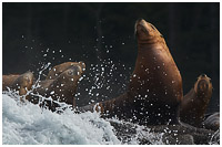 Steller Sea Lions Enduring the Surf