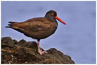 Black Oystercatcher on Shoreline - Gwaii Haanas Park