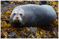Harbor Seal on Rockweed (<em>Fucus</em>)