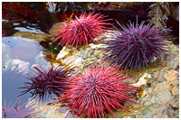 Colourful Sea Urchins Exposed at High Tide